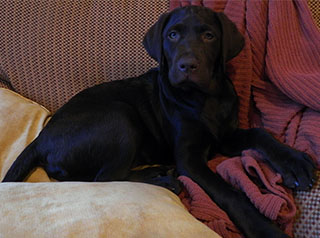 Available Puppy and Adult Labs | Riveron Labradors